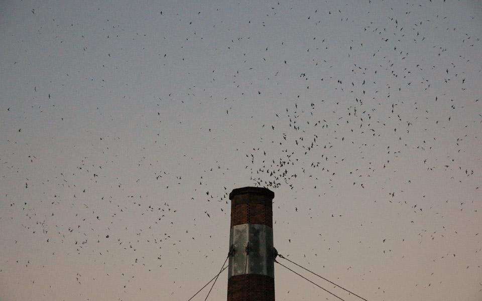 Swifts at Chapman School
