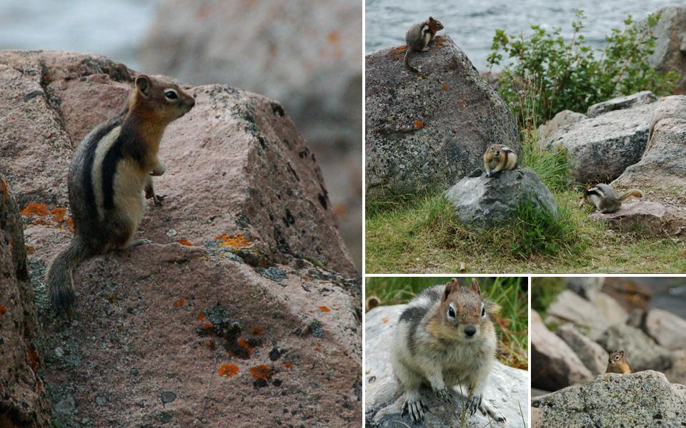 Squirrels in Jasper