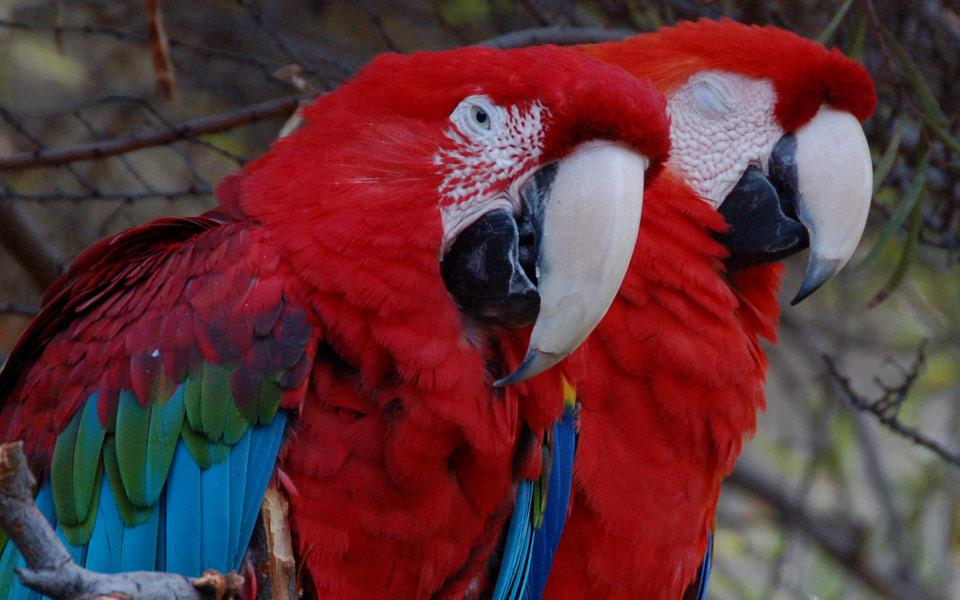 Parrots at Mauna Kea