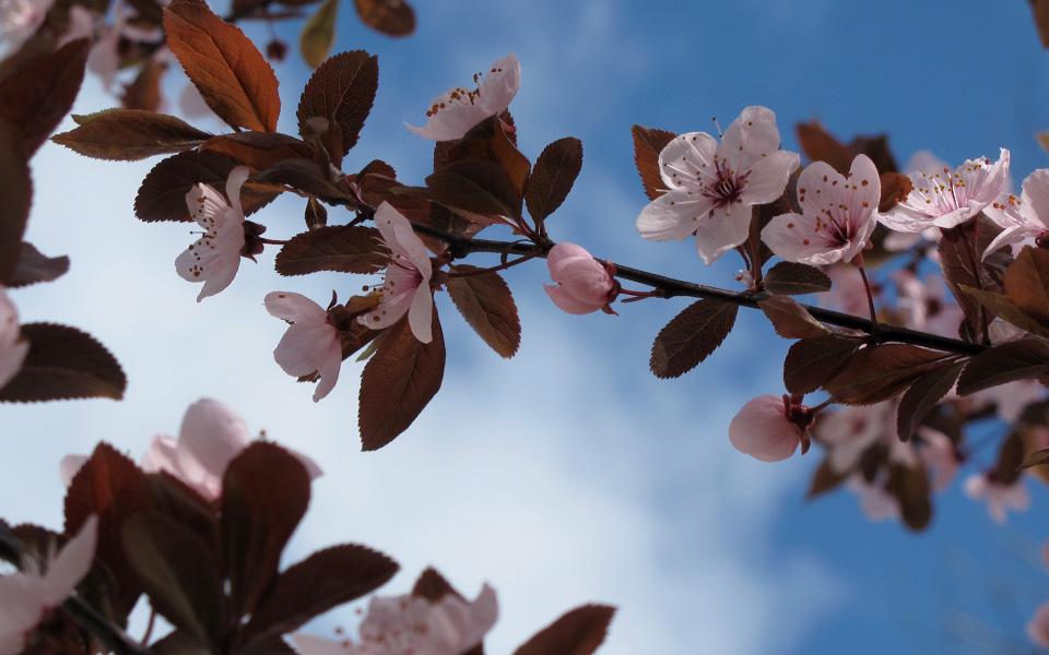 Flowering Plum Tree 2010