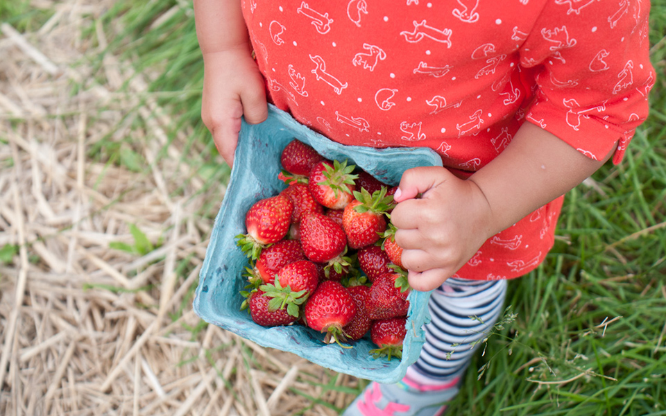 Pick your own strawberries at Jones Farm in Shelton, CT