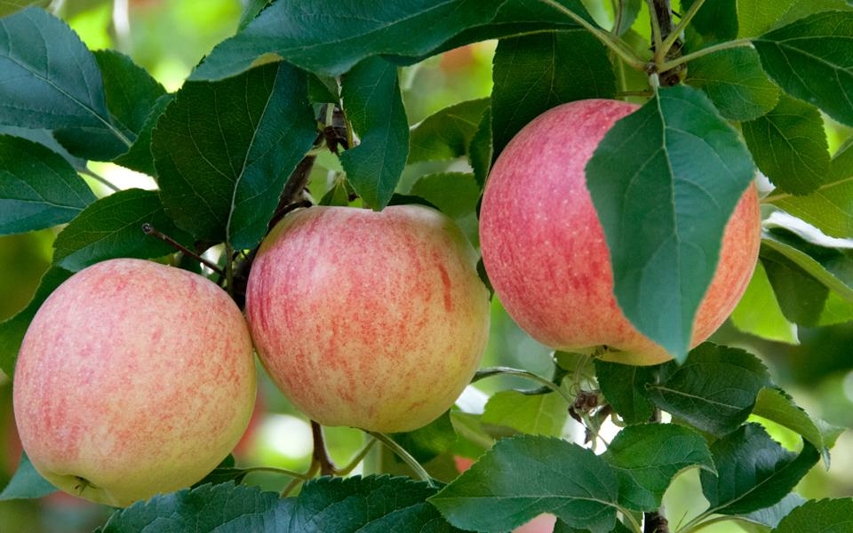Fuji apples at Bishops Orchard