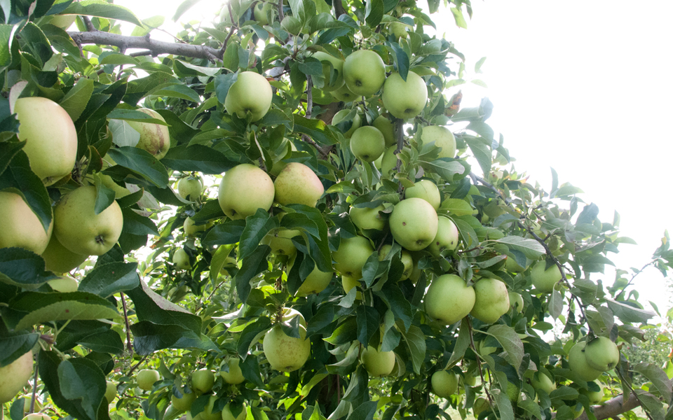 Golden Delicious apples at Bishop's Orchard